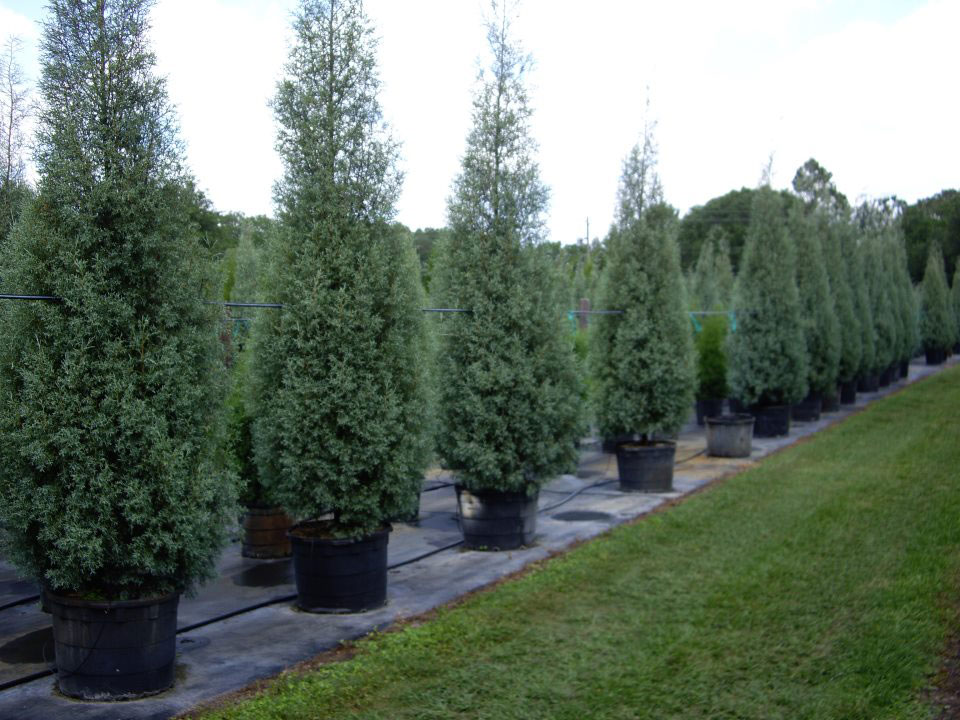 Pictures Of Landscaping With Spruce Trees 80