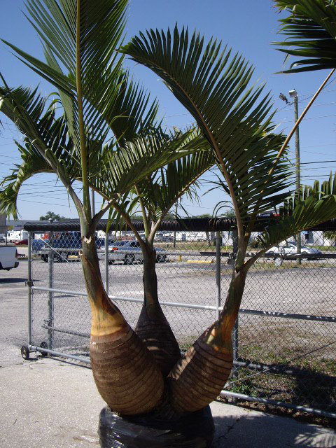 Triple Bottle Palm Tree Aig Lawn And Landscaping